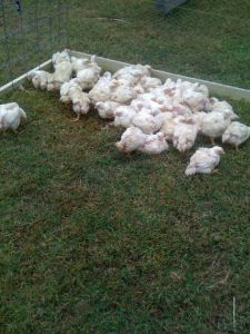 Broiler chickens on pasture.