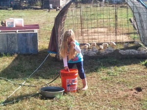 The pasture princess is helping to take care of the pastured poultry.
