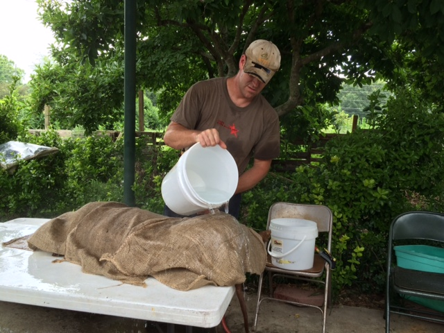 To loosen the hair I covered the carcass with burlap and poured 170 degree water over it.